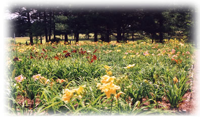 a picture of one of the commercial daylily beds at Hem Haven Daylily Nursery located in Fairhope, Alabama